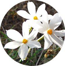 < λουλούδια της Αμοργού >